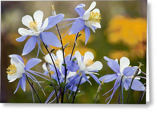 Ss Unites States Greeting Cards - Blue Columbine (aquilegia Coerulea) Greeting Card by Bob Gibbons