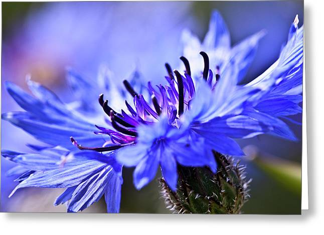 Garden Petal Image Greeting Cards - Blue Cornflower Bloom Greeting Card by Heiko Koehrer-Wagner