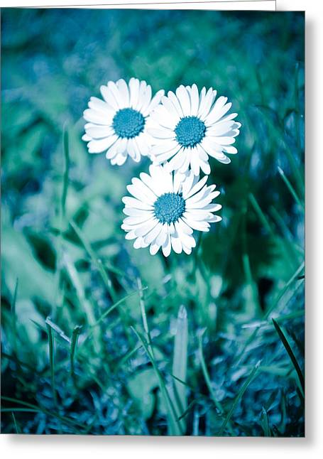 Blue Daisies Greeting Card by Ruth MacLeod