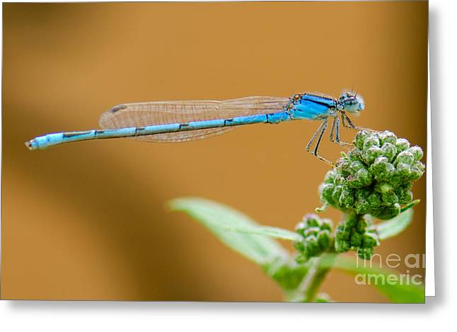 Damselfly Greeting Cards - Blue Damselfly Greeting Card by Betty LaRue