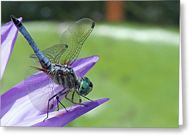 Becky Greeting Cards - Blue dasher dragonfly closeup Greeting Card by Becky Lodes