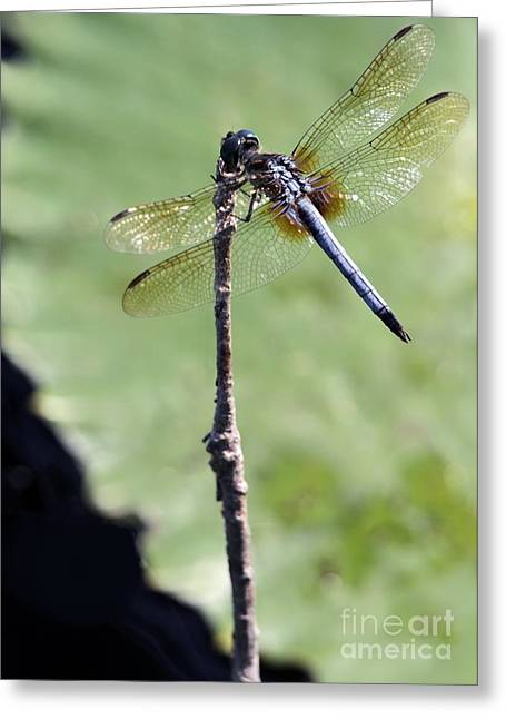 Flys Greeting Cards - Blue Dasher Dragonfly Dancer Greeting Card by Sabrina L Ryan