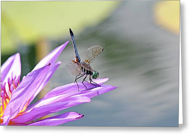 Becky Greeting Cards - Blue dasher dragonfly doing a handstand Greeting Card by Becky Lodes