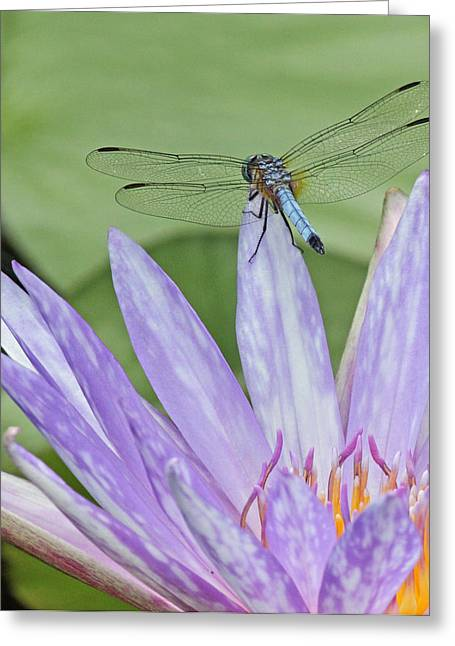 Becky Greeting Cards - Blue dasher dragonfly on waterlily Greeting Card by Becky Lodes