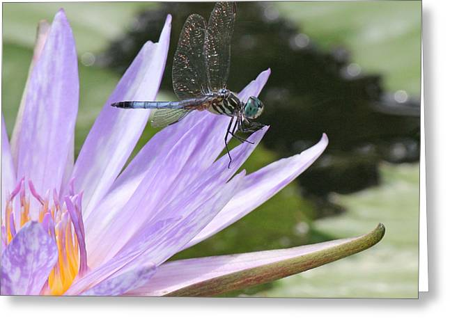 Becky Greeting Cards - Blue dasher dragonfly with iridescent wings Greeting Card by Becky Lodes
