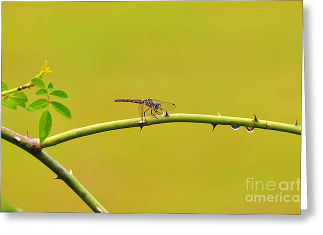 Dragon Fly Photo Greeting Cards - Blue Dasher Female Greeting Card by Al Powell Photography USA