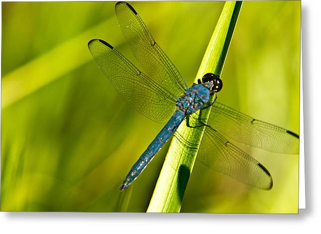Predacious Greeting Cards - Blue Dragonfly 10 Greeting Card by Douglas Barnett