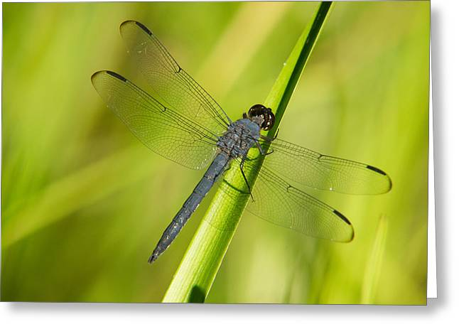 Predacious Greeting Cards - Blue Dragonfly 11 Greeting Card by Douglas Barnett