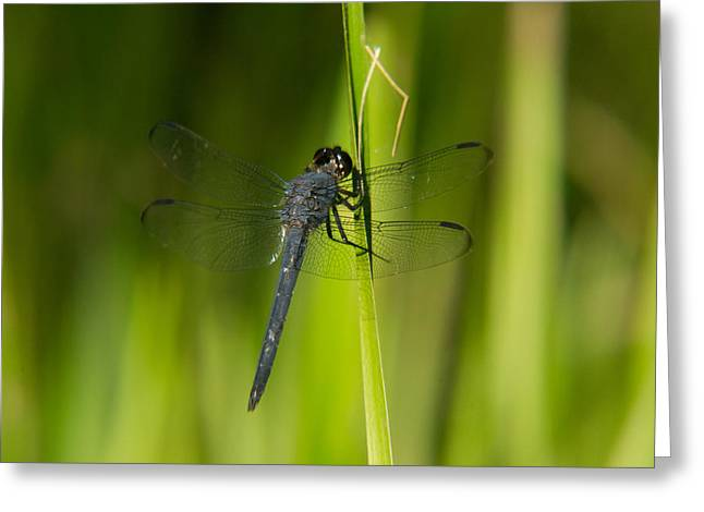 Predacious Greeting Cards - Blue Dragonfly 12 Greeting Card by Douglas Barnett