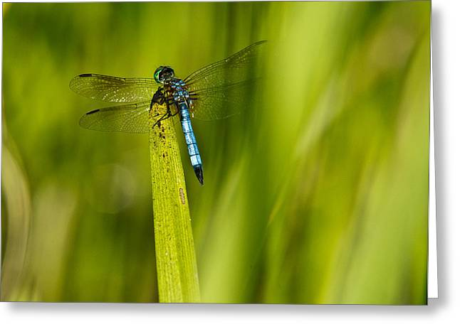 Predacious Greeting Cards - Blue Dragonfly 13 Greeting Card by Douglas Barnett