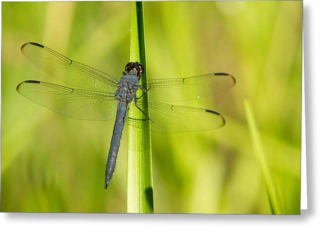 Predacious Greeting Cards - Blue Dragonfly 14 Greeting Card by Douglas Barnett