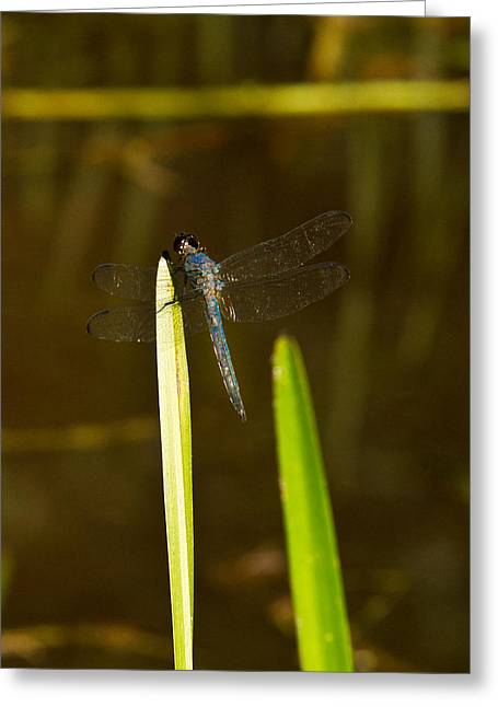 Predacious Greeting Cards - Blue Dragonfly 20 Greeting Card by Douglas Barnett