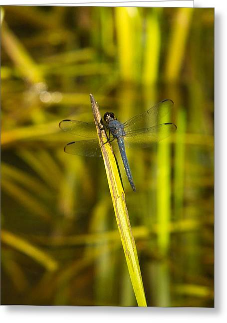 Predacious Greeting Cards - Blue Dragonfly 28 Greeting Card by Douglas Barnett