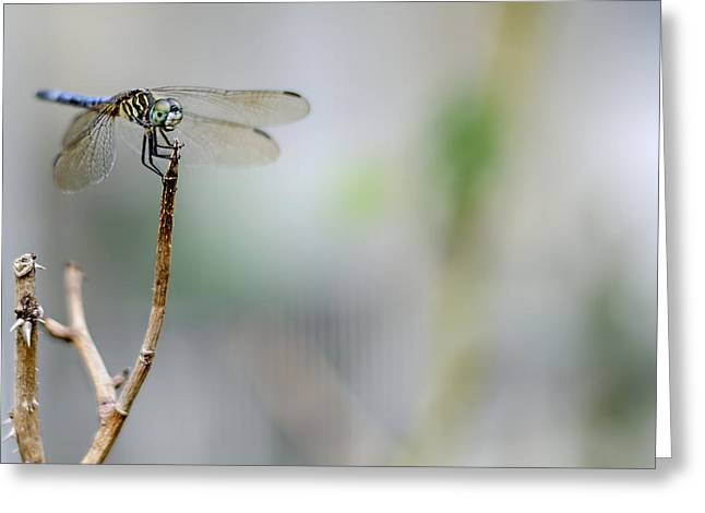 Dragonflies Greeting Cards - Blue Dragonfly Greeting Card by Heather Applegate