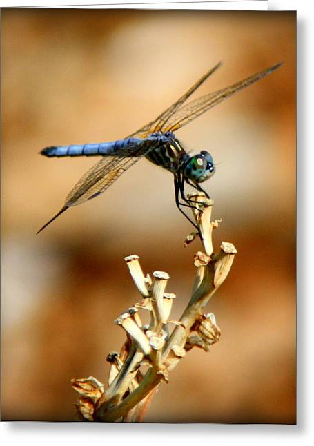Dragon Flies Photographs Greeting Cards - Blue Dragonfly Greeting Card by Tam Graff