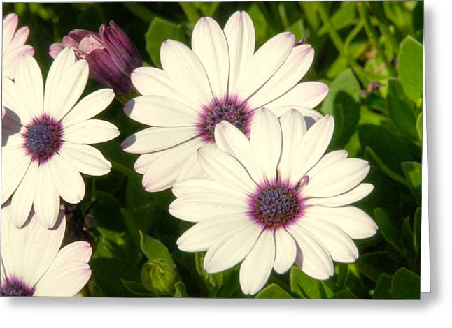 Blue And Purple Greeting Cards - Blue eyed daisies Greeting Card by Anthony Citro