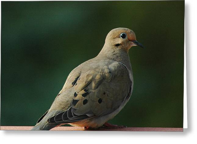 Wild Orchards Greeting Cards - Blue eyed love dove Greeting Card by LeeAnn McLaneGoetz McLaneGoetzStudioLLCcom