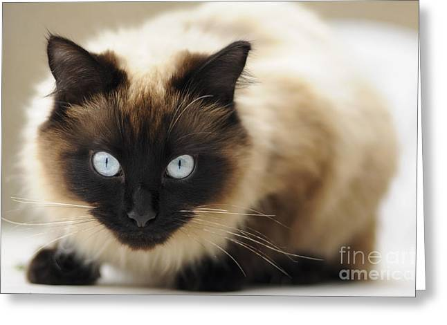 Colourpoint Greeting Cards - Blue eyes Greeting Card by Andrew  Michael