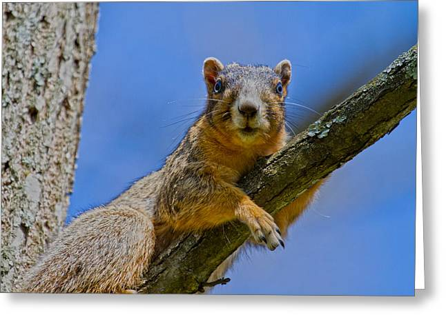 Fox Squirrel Greeting Cards - Blue Eyes Greeting Card by Betsy A  Cutler