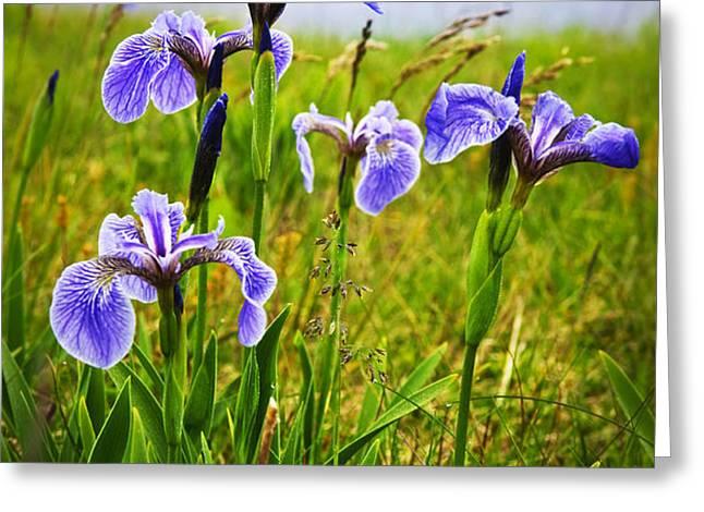 Blue flag iris flowers Greeting Card by Elena Elisseeva