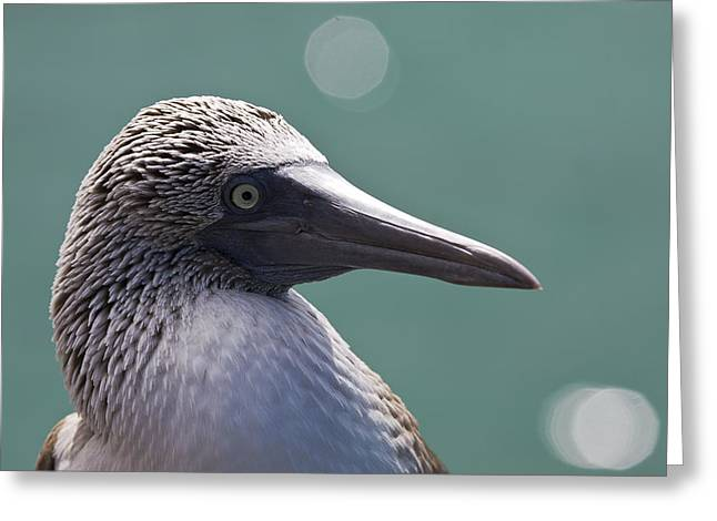 Dave Fleetham Greeting Cards - Blue Footed Booby II Greeting Card by Dave Fleetham