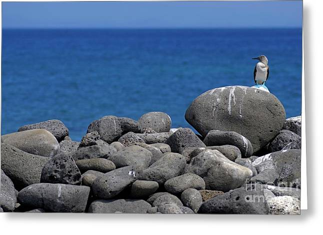 Blue-footed Booby On A Rock By Ocean Greeting Card by Sami Sarkis