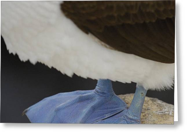 Blue-footed Booby Sula Nebouxii Greeting Card by Pete Oxford