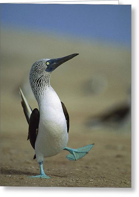 Animals and Earth - Greeting Cards - Blue-footed Booby Sula Nebouxii Greeting Card by Tui De Roy