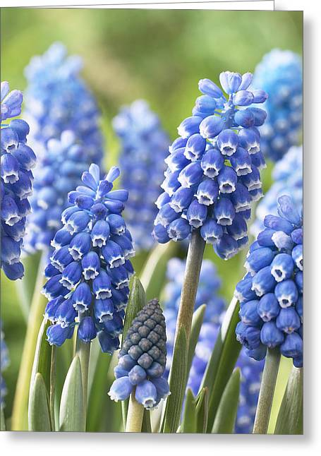 Blue Grapes Greeting Cards - Blue Grape Hyacinth Muscari Aucheri Greeting Card by VisionsPictures