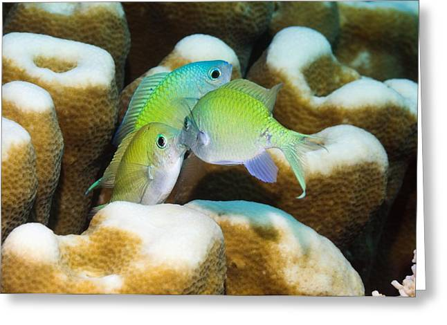 Reef Fish Greeting Cards - Blue-green Fighting On A Reef Greeting Card by Georgette Douwma