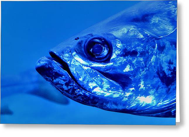 Grouper Greeting Cards - Blue Grouper Greeting Card by Carolyn Marshall