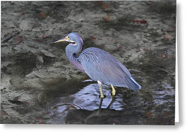 Photos Of Birds Greeting Cards - Blue Heron in Estero Bay Greeting Card by Juergen Roth