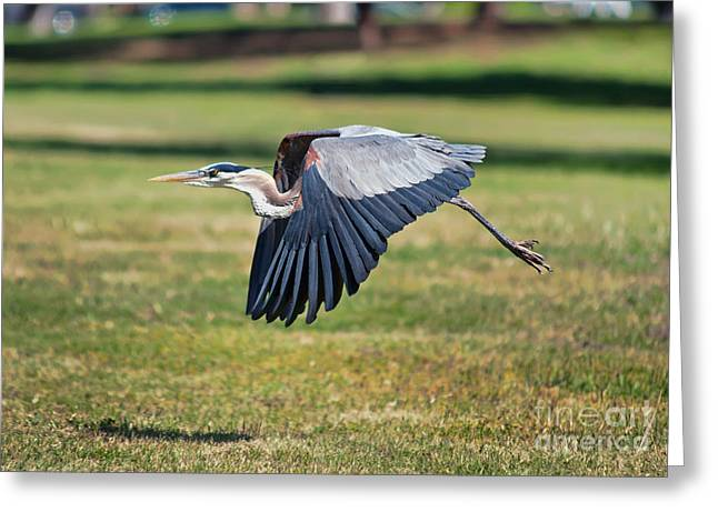 Yellow Beak Greeting Cards - Blue Heron In Flight Greeting Card by Eddie Yerkish