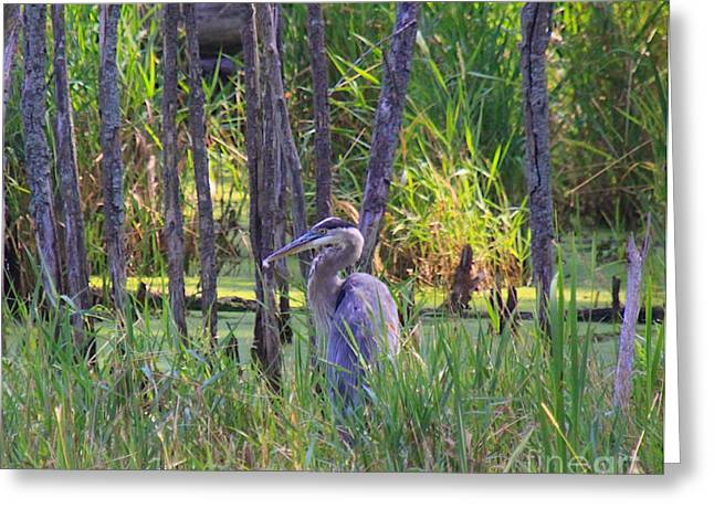 Great Birds Mixed Media Greeting Cards - Blue Heron-In the swamp Greeting Card by Robert Pearson