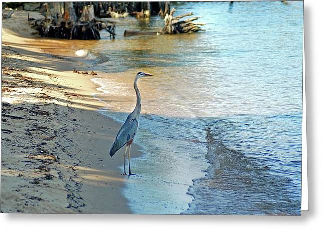 Crimson Tide Photographs Greeting Cards - Blue Heron on the Beach Greeting Card by Michael Thomas