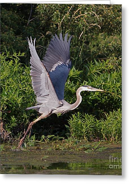 Flying Mixed Media Greeting Cards - Blue Heron Greeting Card by Robert Pearson
