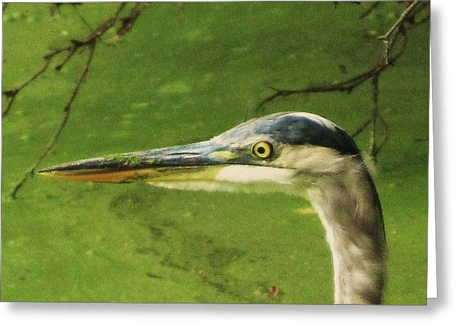 Todd Sherlock Greeting Cards - Blue Heron Greeting Card by Todd Sherlock