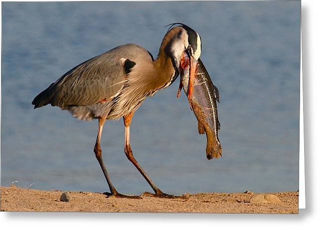 Blue Heron vs. Rainbow Trout Greeting Card by Paul Marto