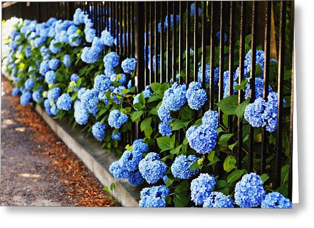 Poking Greeting Cards - Blue Hydrangeas of Bellevue Avenue Greeting Card by George Oze
