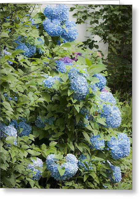 Blooms Greeting Cards - Blue Hydrangeas Greeting Card by Teresa Mucha