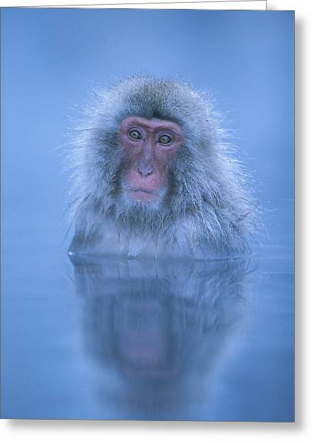 Blue Japanese Macaque Bathing Greeting Card by Ingo Arndt