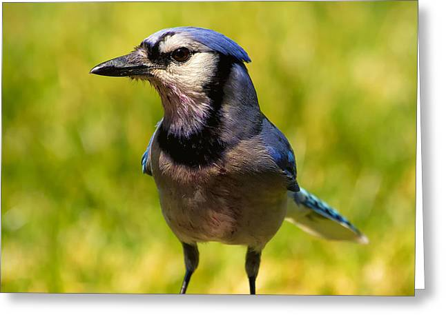 Blue Jay After A Fight Greeting Card by Bill Tiepelman