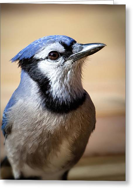 Blue Bird Greeting Cards - Blue Jay Portrait Greeting Card by Al  Mueller