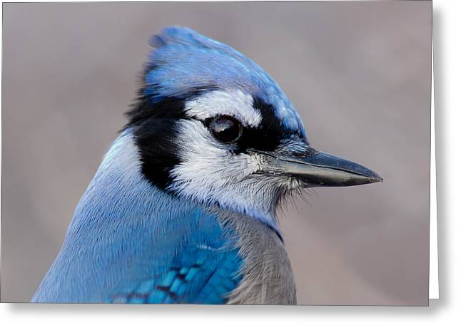 Michel Soucy Greeting Cards - Blue Jay portrait Greeting Card by Michel Soucy