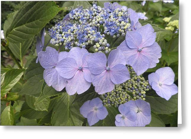 Lacecap Greeting Cards - Blue Lacecap Hydrangea Greeting Card by Kate Gallagher