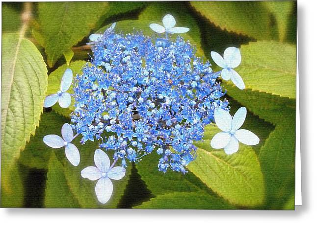 Lacecap Greeting Cards - Blue Lacecap Hydrangeas Greeting Card by Kume Bryant