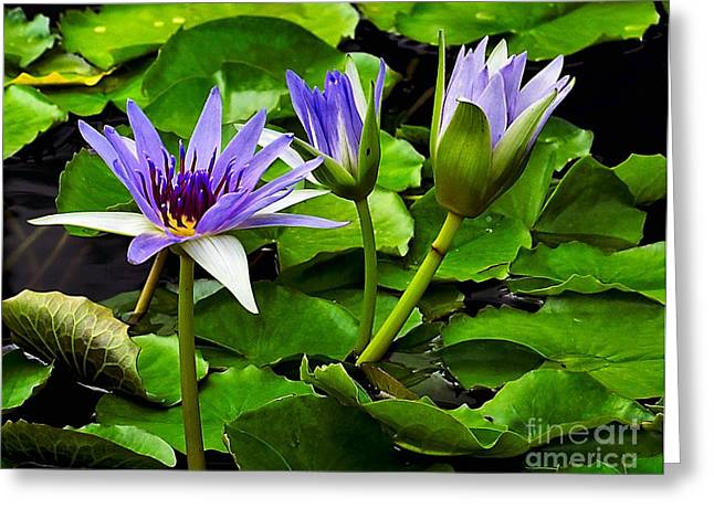Lilly Pads Greeting Cards - Blue Lilies Greeting Card by Nick Zelinsky