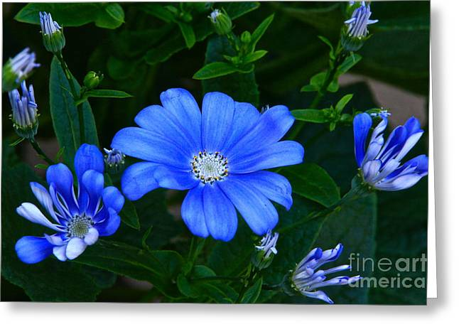 Pericallis Photographs Greeting Cards - Blue Magic Greeting Card by Byron Varvarigos