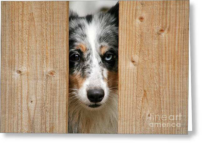 Gray Hair Greeting Cards - Blue merle sheltie Greeting Card by Kati Molin