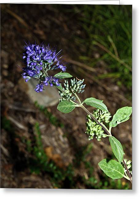 Spirea Greeting Cards - Blue Mist Spirea Greeting Card by Douglas Barnett